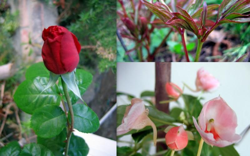 玫瑰芍药海棠